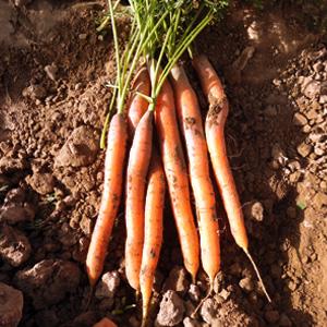 Deep Red, Nantes & Baby Carrot Seed Varieties