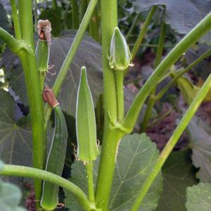 Hyrbid and Op Okra Seed Varieties Available
